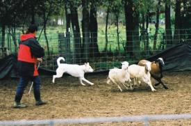 JK Maccabee Northern Warrior during his Herding Instinct Test at the 2004 CDCA National Specialty.