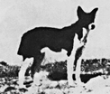 Dugma, the first redomesticated Canaan Dog, on the Sebulon Coastal Plain, circa 1938, before his capture by Rudolphina Menzel, Ph.D.
