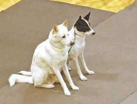 "Denise Gordon's ""Wolf"" and ""Smudge"" in Brace Obedience."
